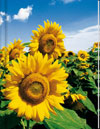 Sunflower Notebook (LG) - Blank Pgs/1 Ruled Sheet